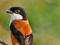 Cara Merawat Dan Mengatasi Burung Cendet Stress