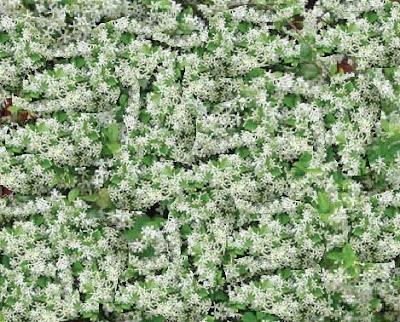Jasminum grandiflorum, Spanish Jasmine (Chameli) Vine