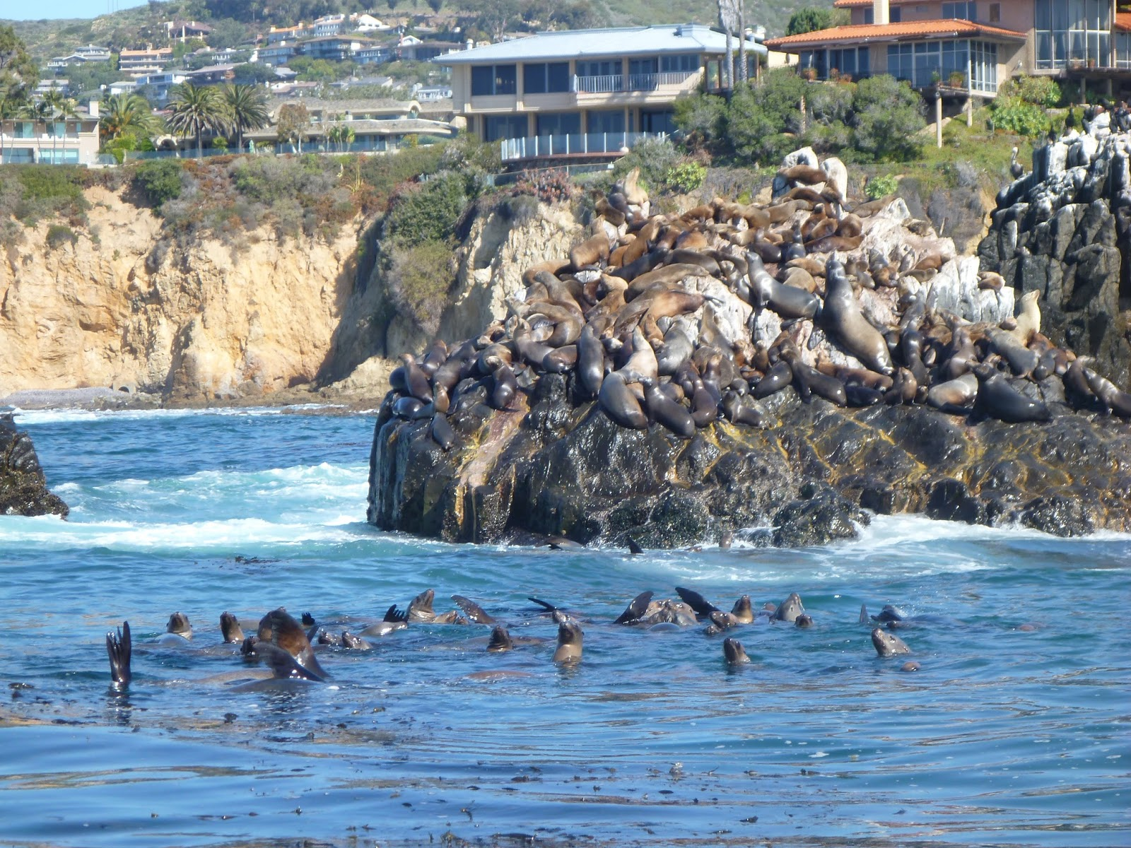 Laguna Beach California Sea Lions In The Water And On Land Taken March 10 2017 From A Paddle Board Few Hundred Yards Offs With An Older