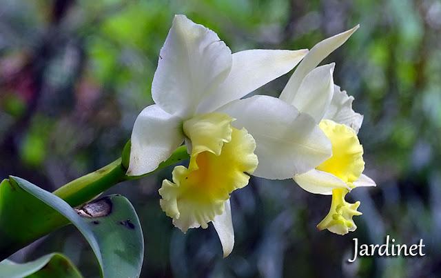 Cattleya de flores perfumadas