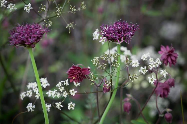 Allium atropurpureum y Anthriscus sylvestris 'Ravenswing'