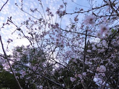 花博記念公園鶴見緑地 ジュウガツザクラ 花の谷
