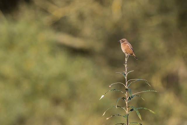 1st Winter Stonechat