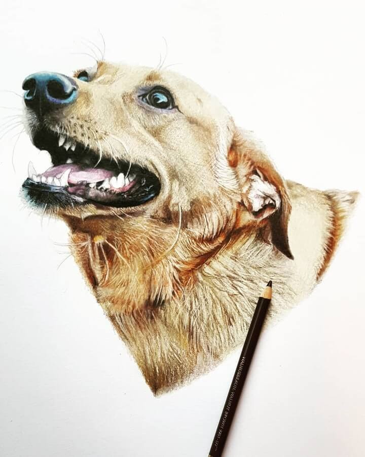 08-Golden-Retriever-Tom-Strutton-Animal-Drawings-www-designstack-co