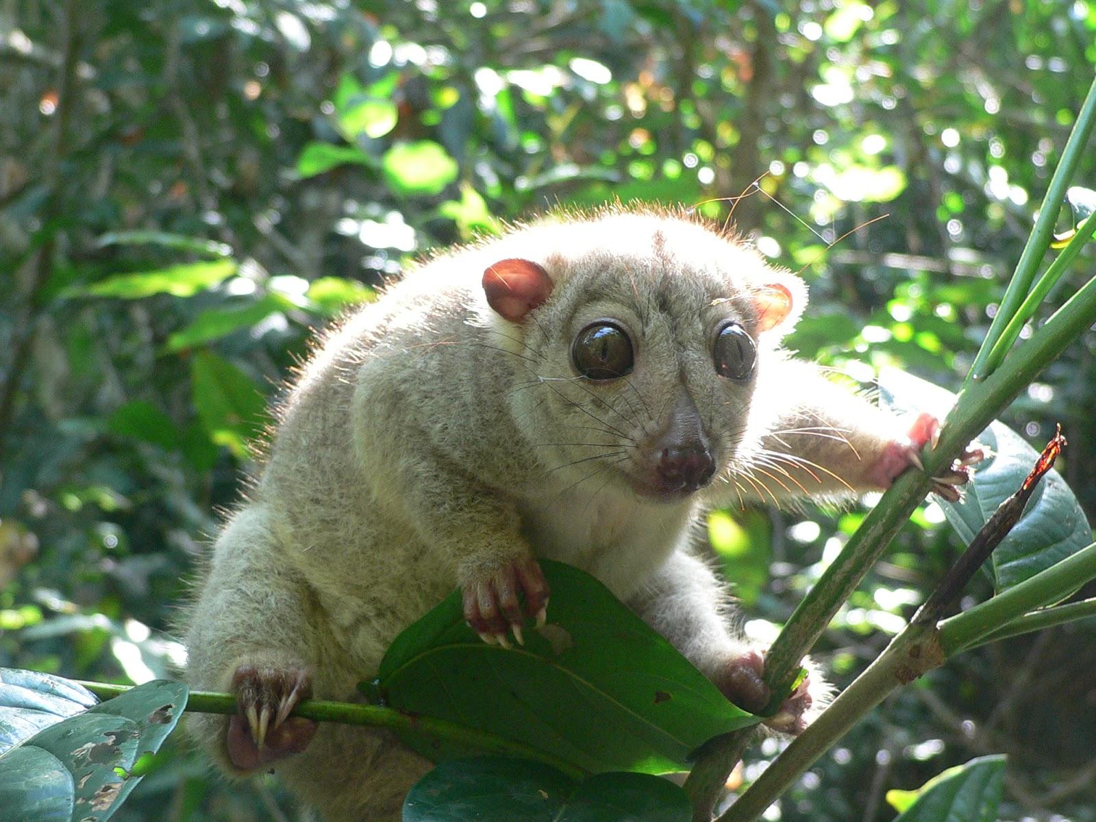 Animal Unique: Cuscus