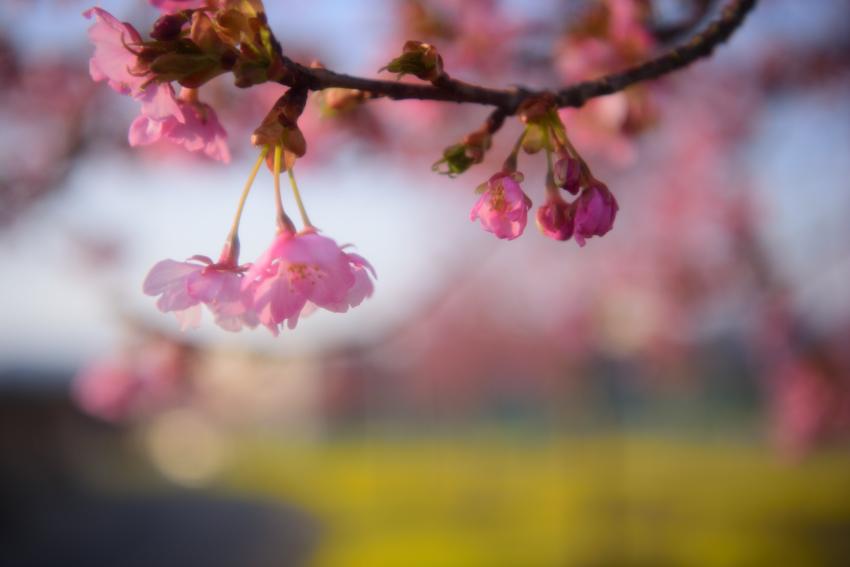 北陸大学 河津桜 菜の花
