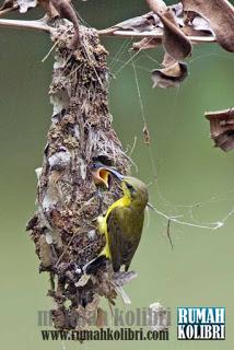 perbedaan kolibri dan burung madu