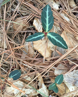 striped wintergreen, Chimaphila maculata