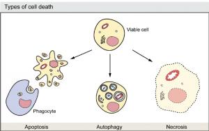 Programlanmış Hücre Ölümü Nedir?