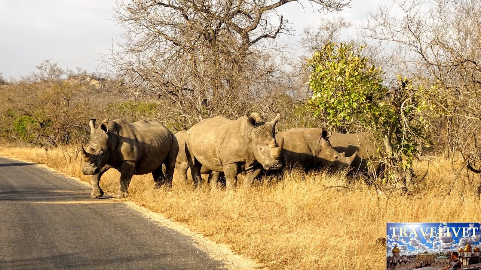 Afrique du sud Parc Kruger Rhinocéros