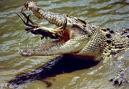 crab eaten by a crocodile