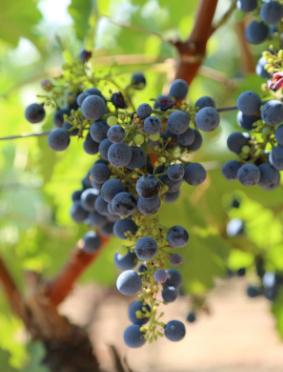 Black Wine Fruit