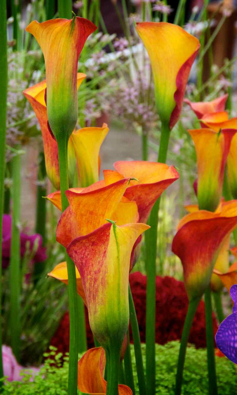 Photographer S Garden Zantedeschia Or Arum Lily