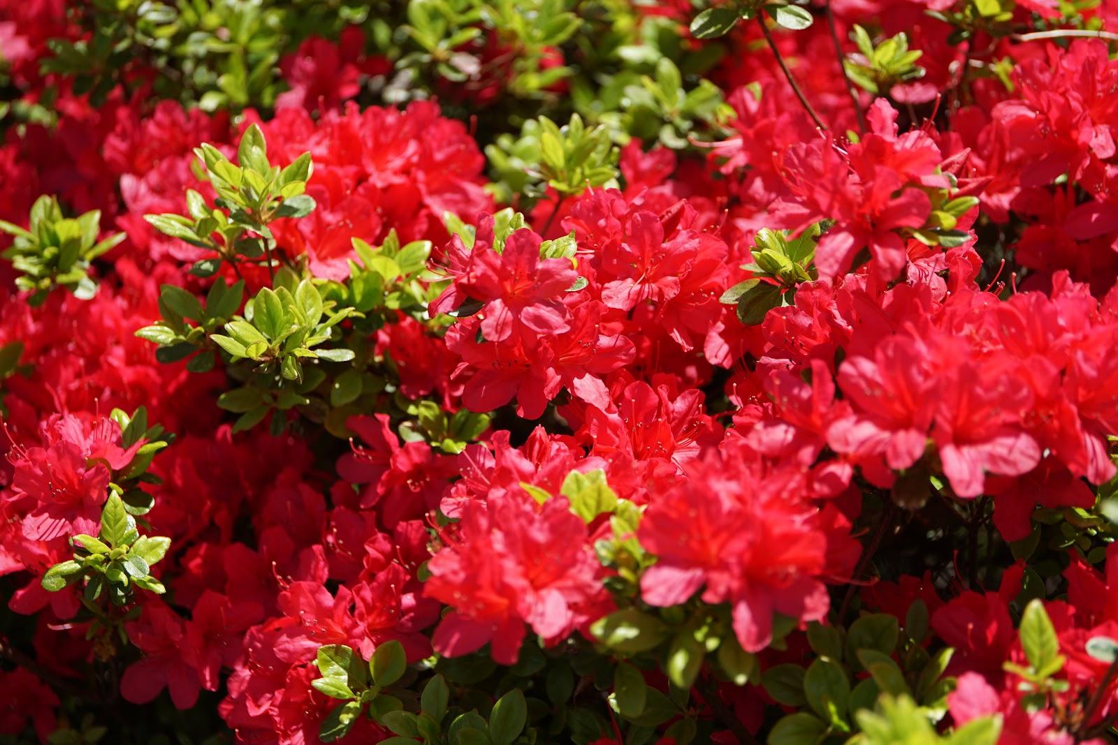 咲き出した赤い躑躅