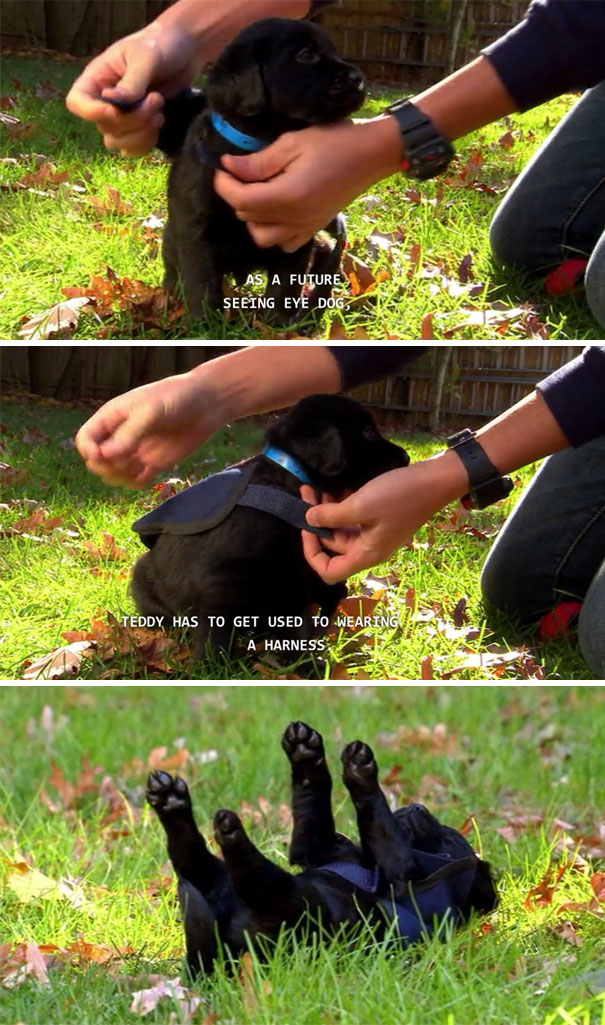 #3 Future Seeing Eye Dog - 10 Puppies On Their First Days Of Work That Will Make Your Day