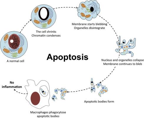 apa itu apoptosis