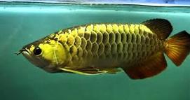Jenis Ikan Ikan Arwana black golden
