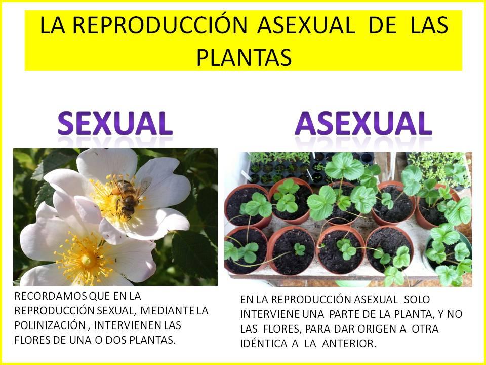 Reproduccion asexual de las plantas definicion