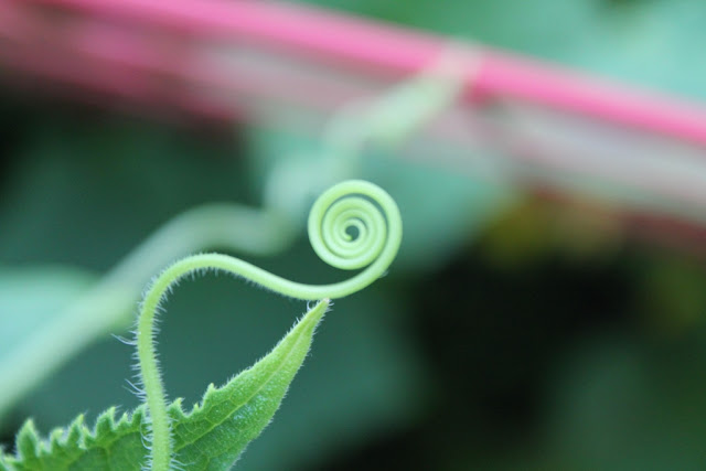A cucumber tendrill, all curled up