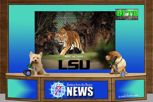 BFTB NETWoof News shares the story of LSU mascot Mike the Tiger VI and cancer