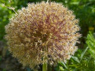How to Grow Alliums Bulbs - Alliums for Your Flower Garden