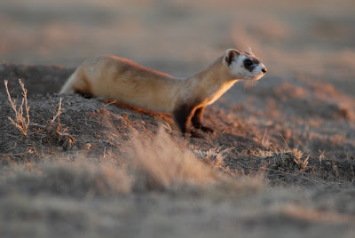 black footed ferret and prairie dog symbiotic relationship