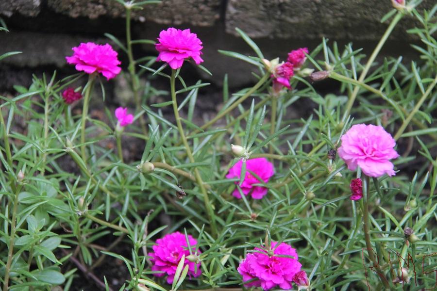 Pakar Tanaman Hias: Bunga Pukul Sembilan