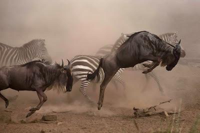 Zebra dengan wildebeest