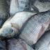 Cara Membuat Racikan Umpan Mancing Ikan Nila