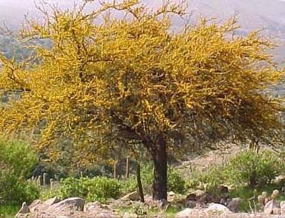 Espinillo Acacia caven