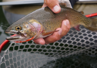 Cutthroat trout dry fly wally wing callibaetis