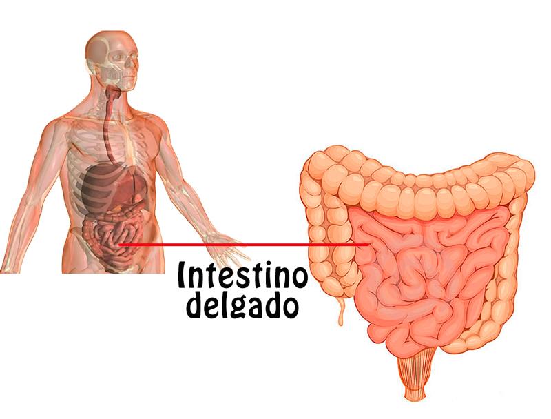 ABDOMEN Y PELVIS : Anatomía Del Intestino Delgado y Del Intestino Grueso