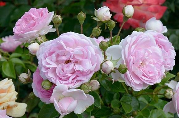 Jasmina роза фото купить саженцы Минск