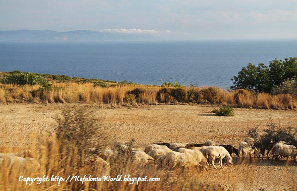 Sheep at Sissia, Kefalonia