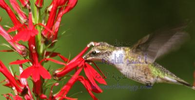 التلقيح بالحشرات فى النباتات الزهرية