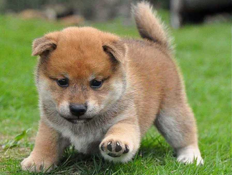 Rules of the Jungle: Shiba inu puppies