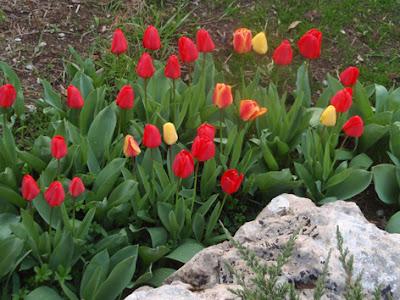 Macizo de tulipanes rojos y amarillos