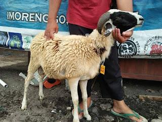 Jual Kambing & Domba Murah Berkualitas Klaten