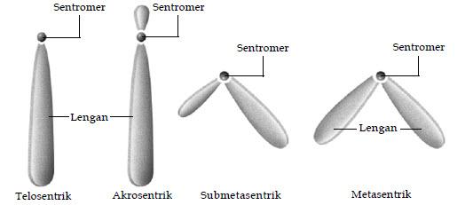 Jenis Kromosom Berdasarkan Letak Sentromer