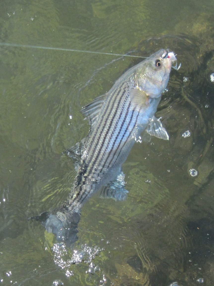 Rhode island striped bass coming attractions geenschuldenfo Image collections