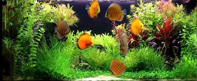 Hướng dẫn cho cá cảnh ăn đúng cách đảm bảo cá luôn khỏe mạnh