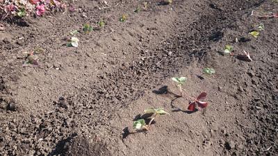 前回植え替えたイチゴ。畑の表面は乾燥中。
