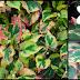 Benefits Of Chameleon Plant Revealed