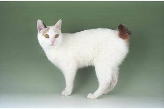 gambar kucing Japanese Bobtail