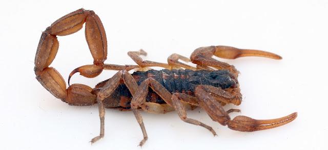 Escorpiones y artropodos