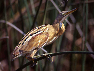 Stripe backed Bittern