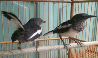 Tips Merawat Kacer Muda Supaya Menjadi Burung Yang Berkualitas