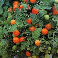Funny Italian Tomato Garden Joke Picture