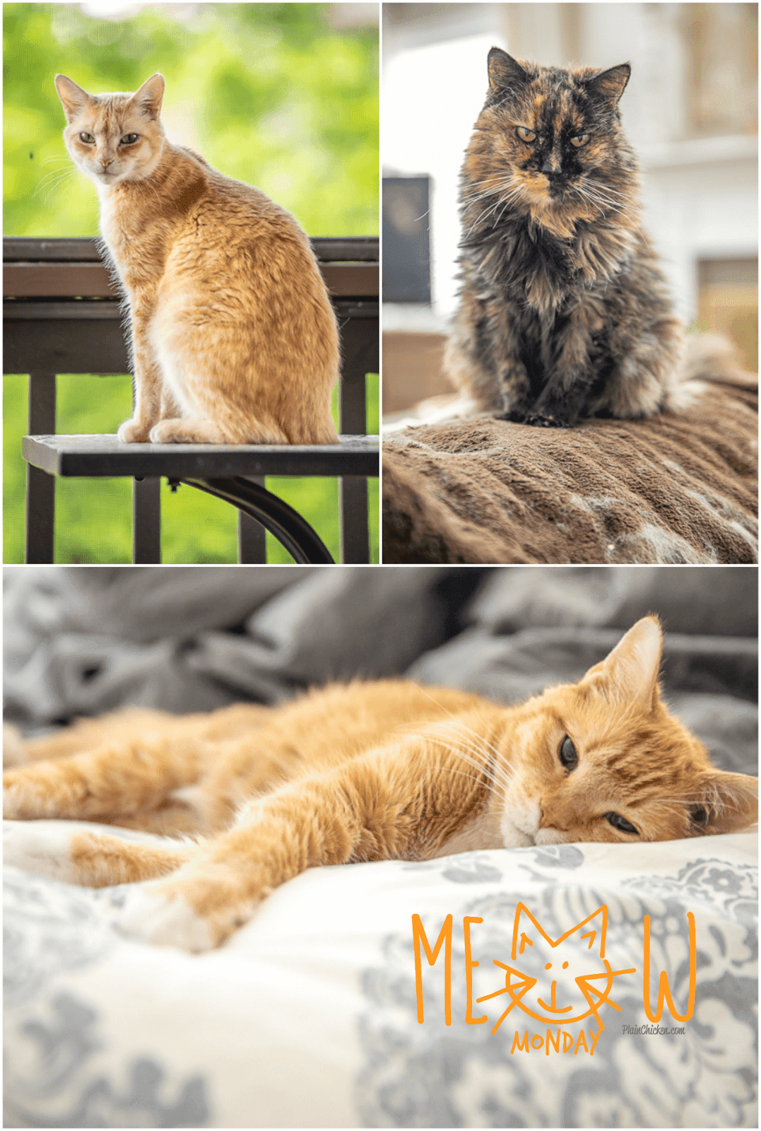 collage of 3 cat photos