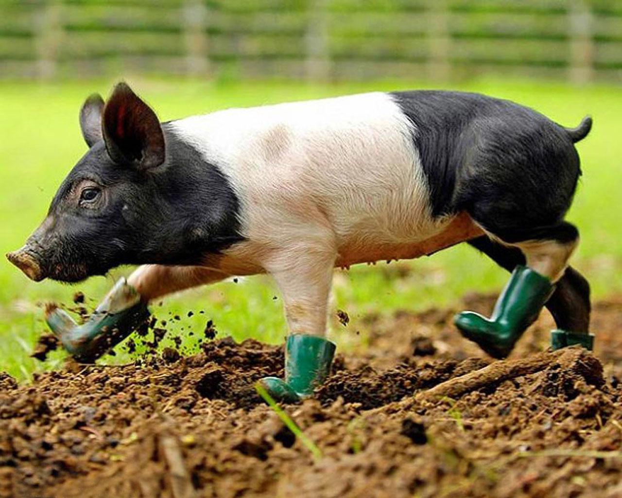 Cute Pig Wallpaper Hd Varkens Achtergronden Hd Wallpapers